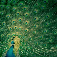 Peacock Strut 5x5 Fine Art Photograph by cleverthursday on Etsy