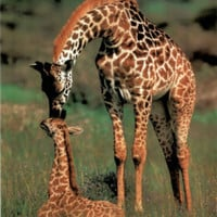 Giraffes Kissing Cute Giraffe Art Poster
