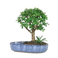 Bonsai Plants - Dwarf Jade in Water Pot