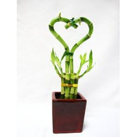 9GreenBox - Live Heart 6 Style Lucky Bamboo Arrange w/ Hand Paint Ceramic Pot