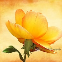 Flower Photograph, Fine Art Peach Rose Photograph, Nature Print,