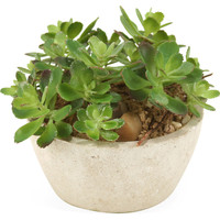 "7"" House Leek Succulents in Bowl"