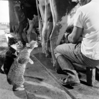 Cats Blackie and Brownie Catching Squirts of Milk During Milking at Arch Badertscher's Dairy Farm Photographic Print by Nat Farbman at Art.com