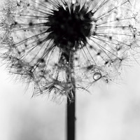 dandelion Art Print by Ingz | Society6