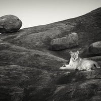 """Lioness on the rocks, Serengeti"" - Art Print by pekka Järventaus"