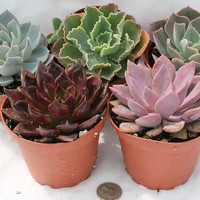 Ten 10 Beautiful Echeveria potted Succulents by TheSucculentSource