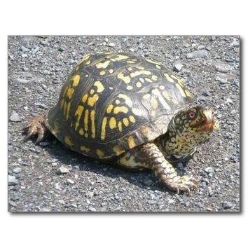 Eastern Box Turtle Postcard