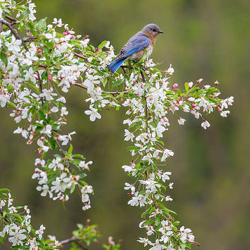 Eastern Bluebird Photograph by Bill Wakeley - Eastern Bluebird Fine Art Prints and Posters for Sale