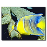Yellow Queen Angelfish - underwater wonder