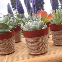 A Collection Of 6 Succulent Plants Pots by SucculentsGalore