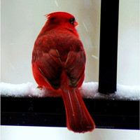 30 OFF SALE Cardinal Photo Cardinal in the by ara133photography