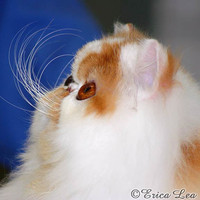 Cute Persian Cat Photo Orange and White Kitty by NatureVisionsToo