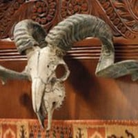 Corsican Ram Skull and Horns Trophy