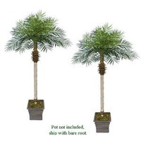 TWO 7' Date Phoenix Artificial Tropical Palm Trees, with No Pot,