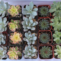 6 assorted Succulent plants Collection 2 inch plastic pots succulents great for wedding gifts & favors or samples