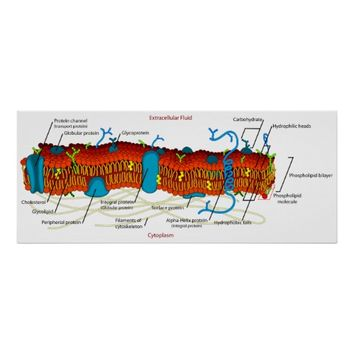 Cell Membrane Diagram Common in all Living Cells