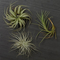 Assorted Airplants | The Banyan Tree Garden & Boutique
