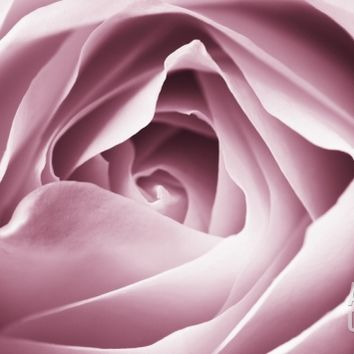 Close-up View of Pink Rose Photographic Print by Clive Nichols at Art.com