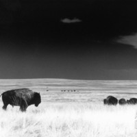 Buffalo Grazing, Buffalo Gap Nat Grassland, SD Photographic Print by John Glembin at Art.com