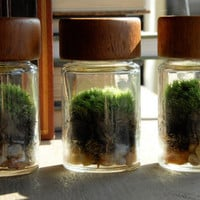 Live Moss Terrarium, Vintage Glass Spice Jar with Teak Wood Top