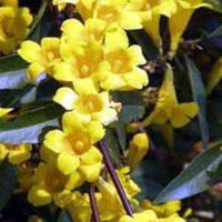 Carolina Jasmine,  Gelsemium sempervirens ... gallon