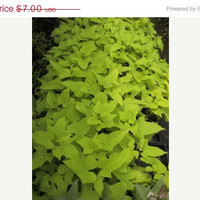 ON SALE Ipomoea batatas ' Margarita'  ... Ornamental Sweet Potato Vine