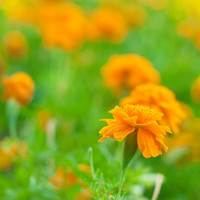 Fine Art Photo Print - Orange Yellow Marigold Nature Flower Green Spring Summer Home Decor Wall Art - 8 x 8
