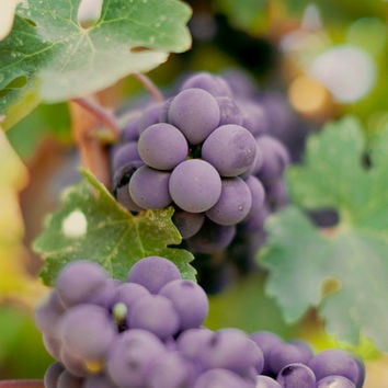 Fine Art Photo Print - Grapes Wine Country Harvest Farm Garden Food Kitchen Wall Art Home Decor - 8 x 8