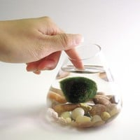 Marimo Water Terrarium Pet by wendiland on Etsy