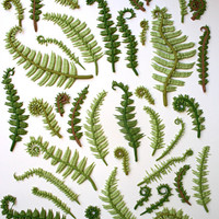 Edible Sugar Ferns & Fiddle Heads 30 by andiespecialtysweets