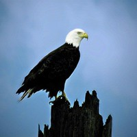 Eagle Bird Photography bald,blue sky,Gifts under 25,majestic,handso......