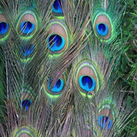"Extra Tall Natural Peacock Feathers (40-45"") 100 feathers... review at Kaboodle"