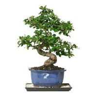 Fukien Tea Bonsai-CT-0116FT at The Home Depot