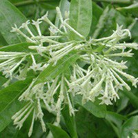 Cestrum nocturnum Night Blooming Jasmine - Tropical Starter Plant - Vincent Gardens