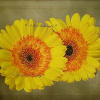 Fine Art Photograph, Yellow Gebera Daisys, Fine Art Nature Photography