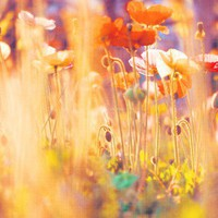 i am alice poppies photograph colorful spring by sixthandmain