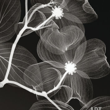 Dogwood Blossoms Negative Art Print by Steven N. Meyers at Art.com