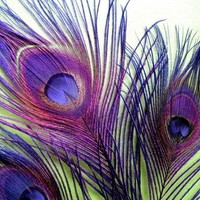 3 - Large - Purple - Peacock Feathers