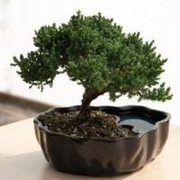 Zen Reflections Juniper Bonsai: Home & Kitchen