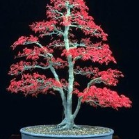 Japanese Red Maple 'Bamboo Leaf' -  5 Seeds: Patio, Lawn & Garden