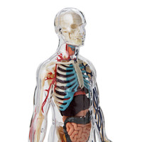 Anatomical Snap-Together Kit, Clear Body