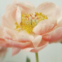 Coral Peony Photograph,  Flower Wall Decor, Shabby Chic Home