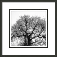 Oak Framed Print By Alexandra Cook