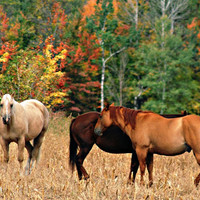 Horse Art Photography Equine,pet,Gifts under 25,paint,chestnut,cowboy,autumn