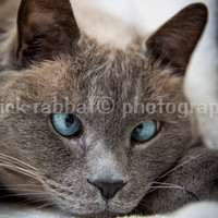 Cross Eyed Blue Eyed Cat Instant Digital Download Fine Art Photography Animal Photography Tonkinese Cat Funny Cat Quote