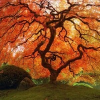Autumn Zen  Fall Japanese Maple 8 x 8 Fine Art Photo  by ndtphoto