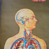 Nystrom Anatomical Wall Chart Vintage Pull by blueflowervintage