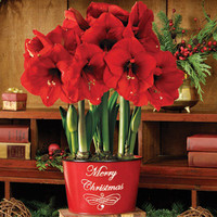 3-in-1 Merry Christmas Grand Trumpet® Amaryllis