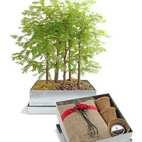 Bonsai Redwood Forest - Wind and Weather