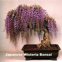 Amazon.com: Blue Japanese Wisteria Vine 5 Seeds - Hard to Find!: Patio, Lawn &amp; Garden